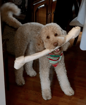 Coat Types, Colors, & Grooming - Goldendoodles of TN ... Adult Goldendoodle