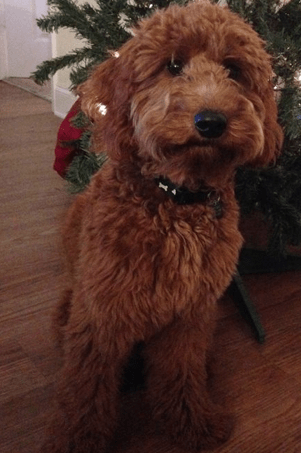 Chocolate Goldendoodle