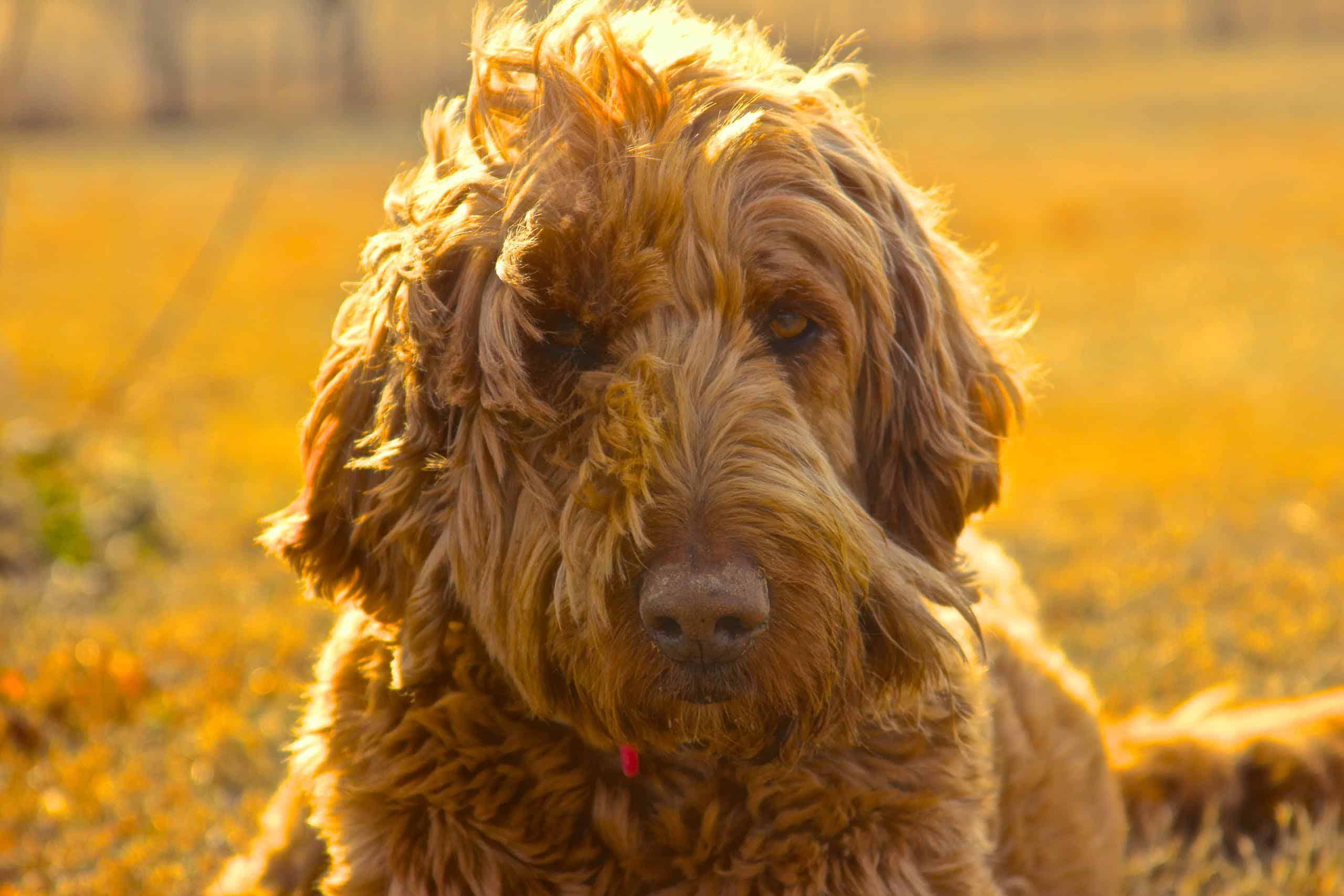 brown-golden-doodle-nashville