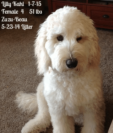 Coat Types Colors Amp Grooming Goldendoodles Of Tn