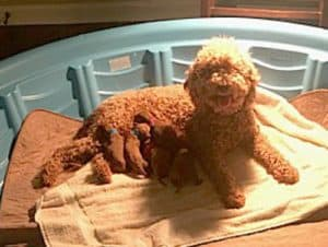 Juliet Max Mini F1bbs Born 3 6 19 All Sold Goldendoodles